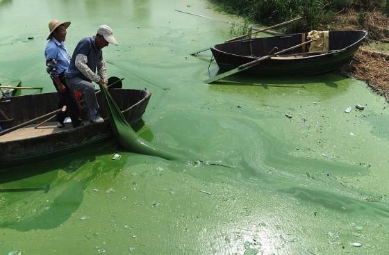 сине зеленые водоросли